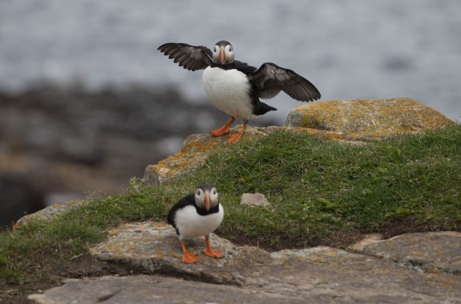 Puffin 11 (1 of 1)