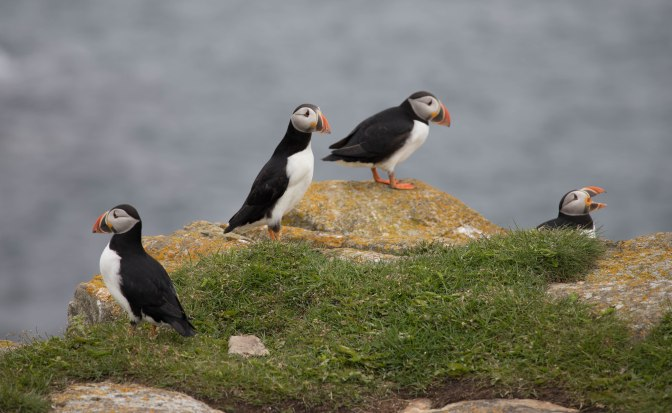 Puffin 6 (1 of 1)