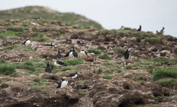 puffincolony23 (1 of 1)